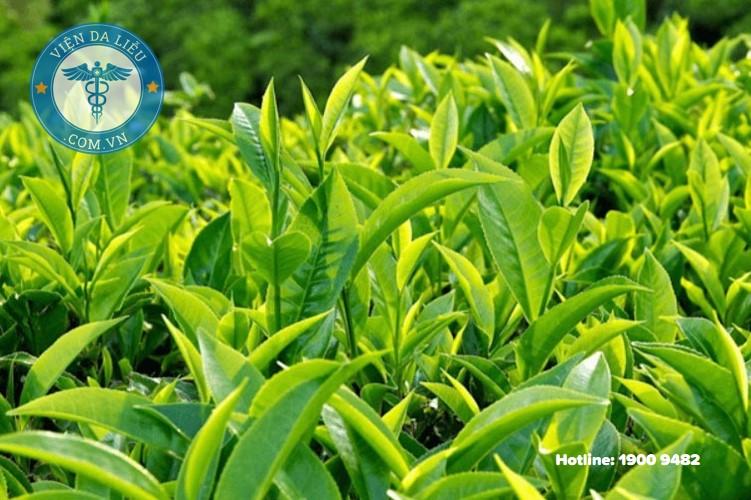 5. Trị bằng trà xanh 1
